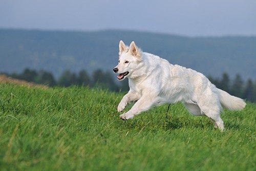 image.ch.bafu.alpweiden-herdenschutzhunde